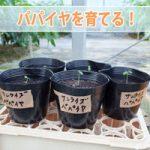 【パパイア栽培】種から植えた「パパイア(パパイヤ)」が発芽したよ!