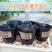 【パパイア栽培】種から植えた「パパイア(パパイヤ)」が発芽したよ! | 花徳マンゴー