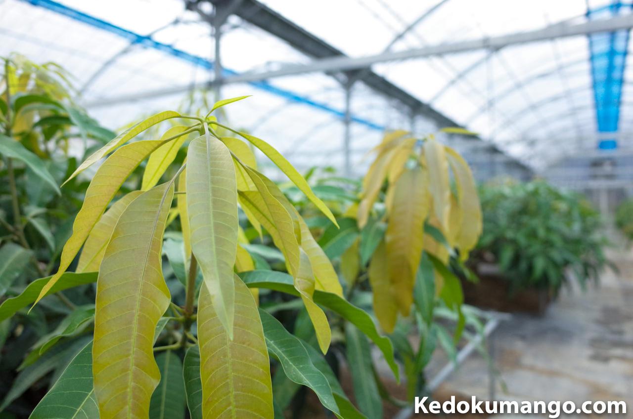 マンゴーの新葉の様子-1