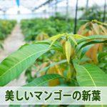 【マンゴー栽培】夏季剪定からの2節目の新葉が美しい頃合いとなってきました!