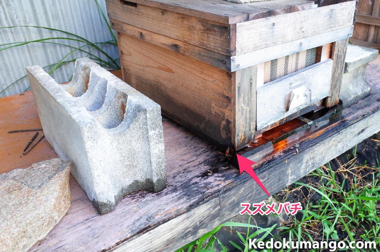 巣門付近をうろつくスズメハチ-1