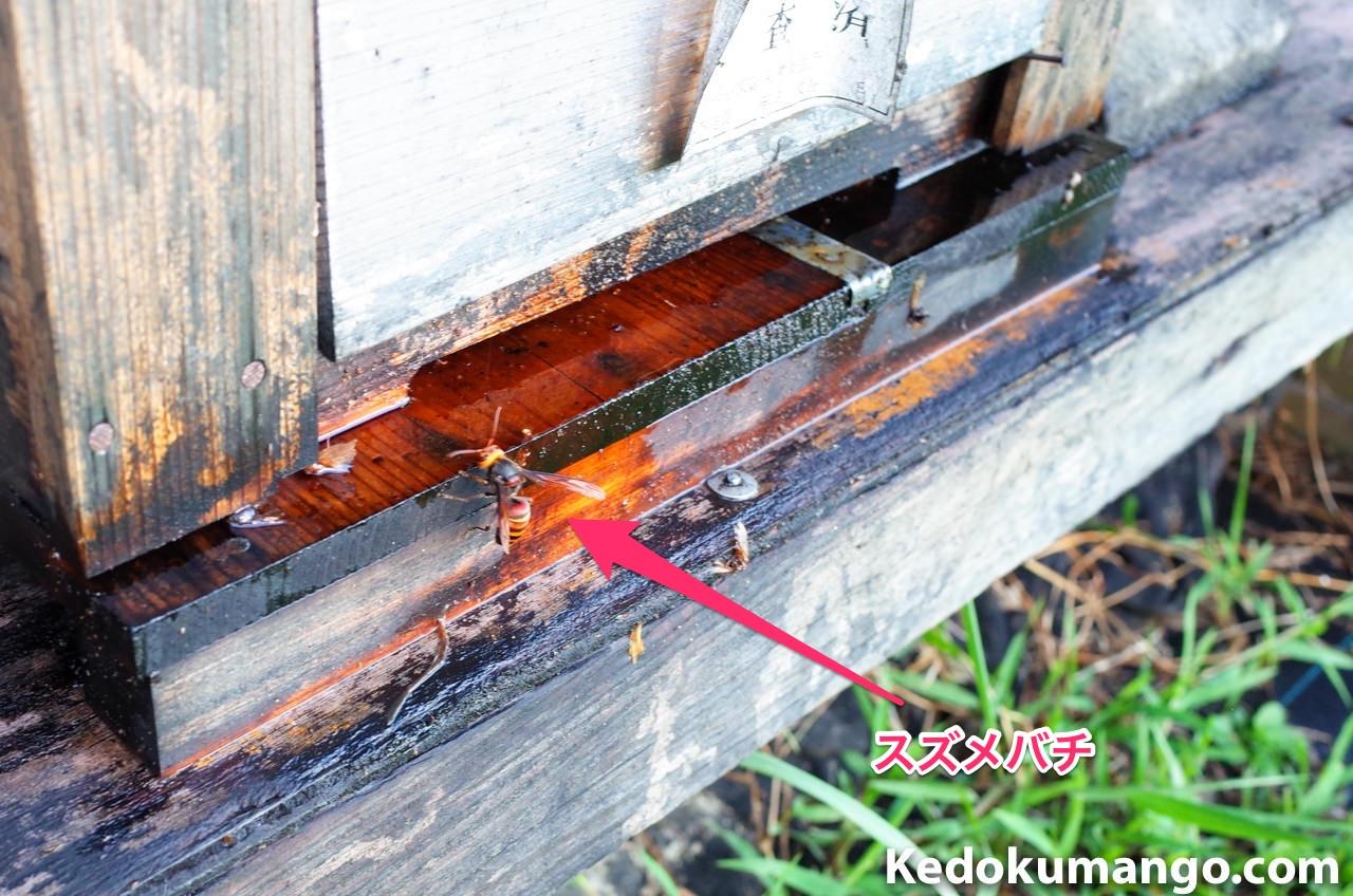 巣門付近をうろつくスズメハチ-2