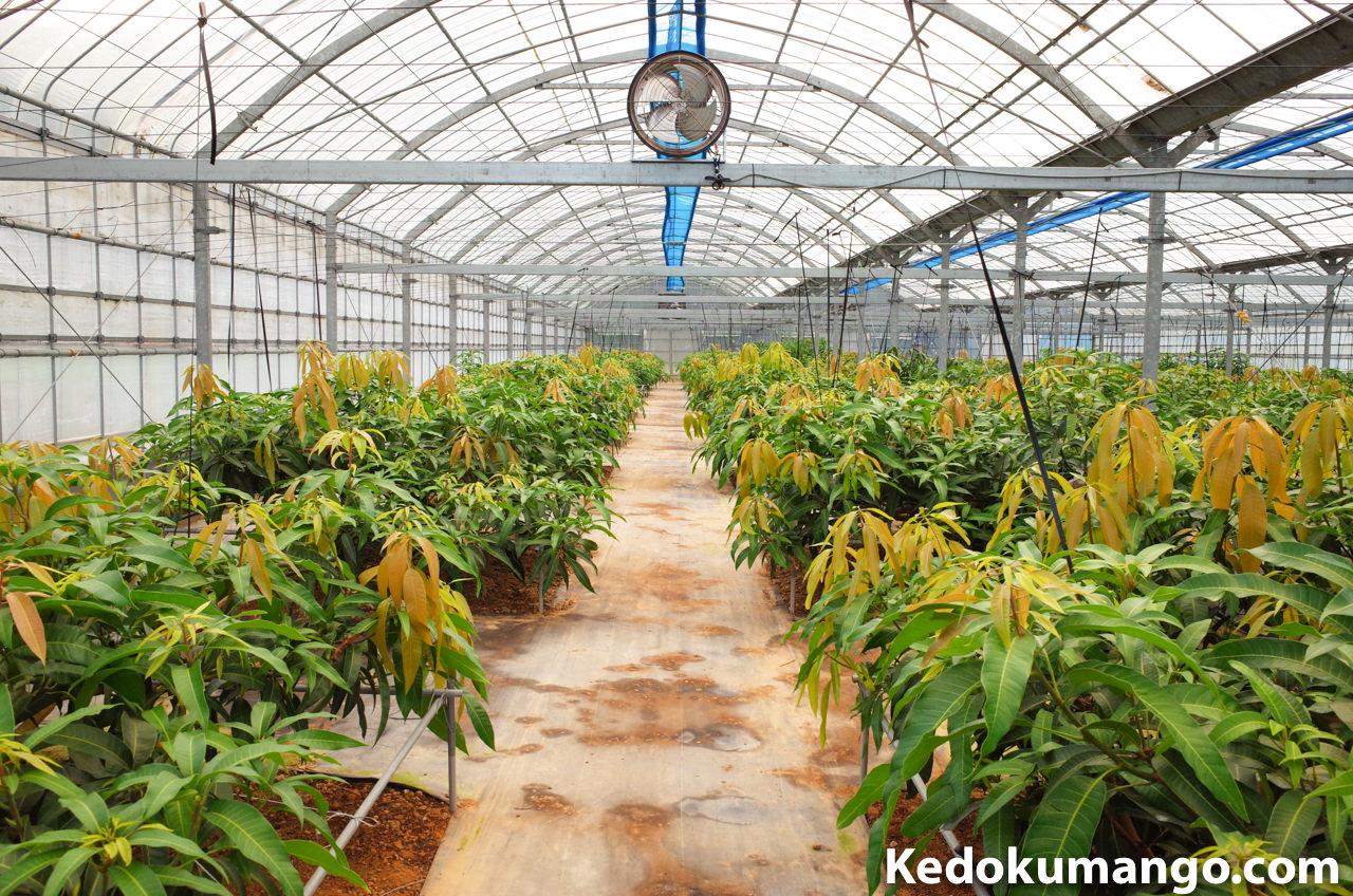 マンゴー栽培を行なう9月下旬の南棟の様子
