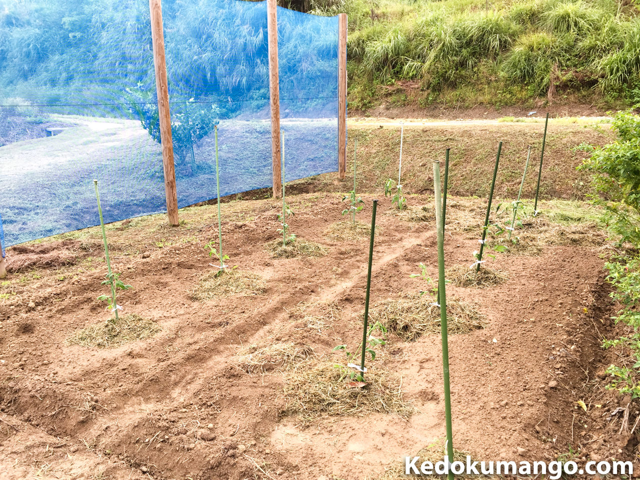 ツリートマトの苗を定植した様子