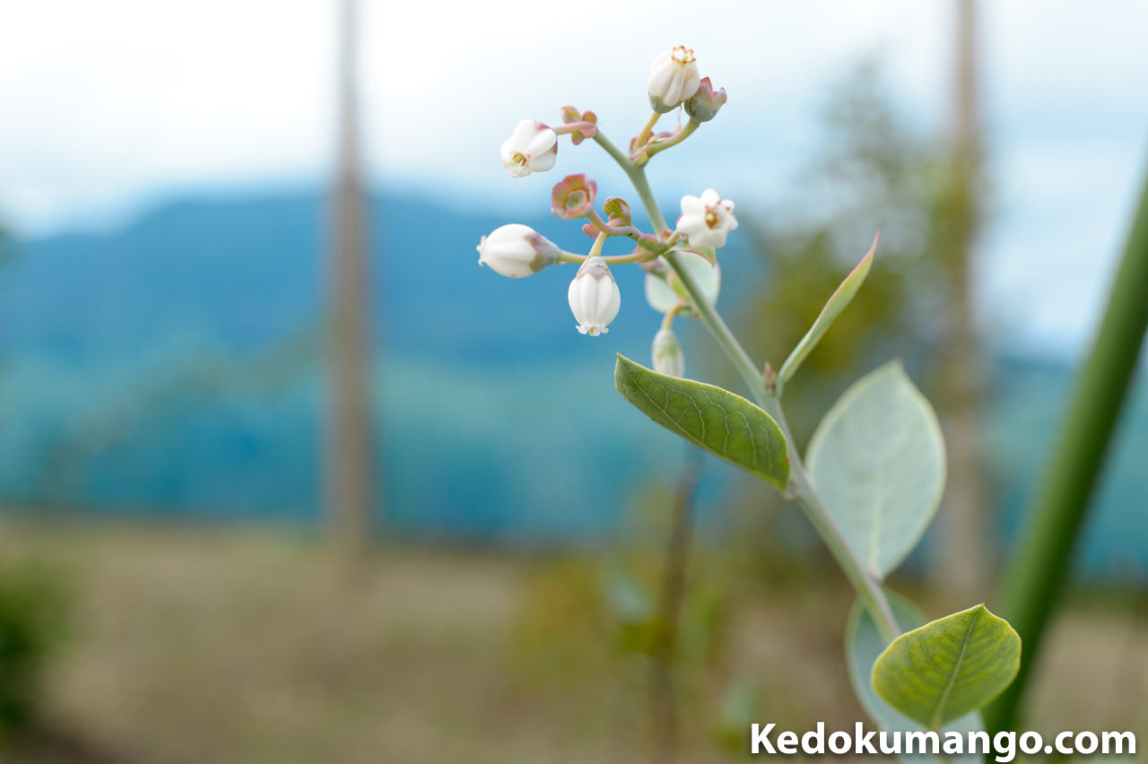 10月末に開花したブルーベリーの花