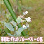 【ブルーベリー】温暖な徳之島で育てる「ブルーベリー」がまさかの10月に開花です!