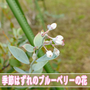 【ブルーベリー】温暖な徳之島で育てる「ブルーベリー」がまさかの10月に開花です! | 花徳マンゴー