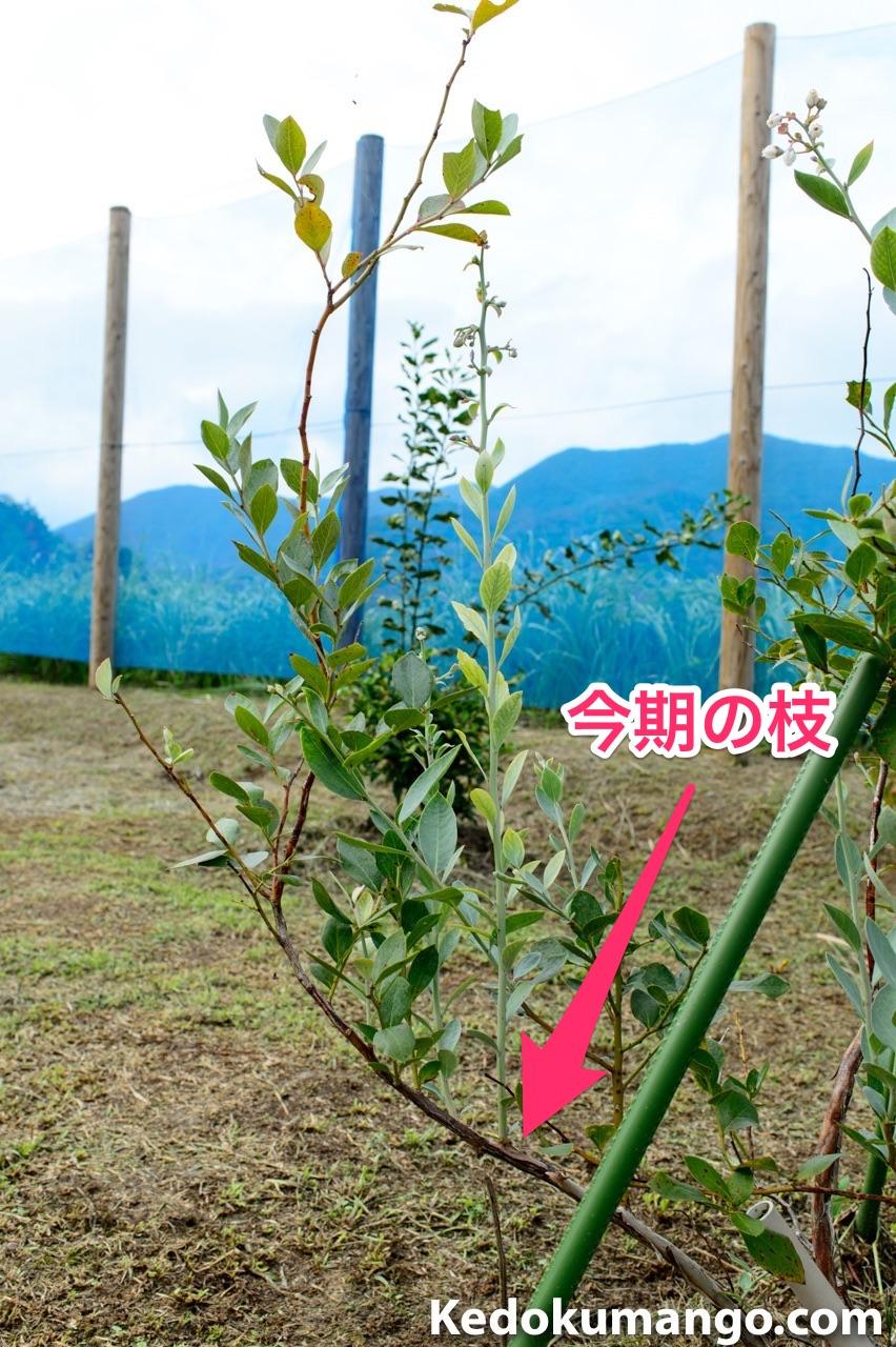 2016年に伸びた枝