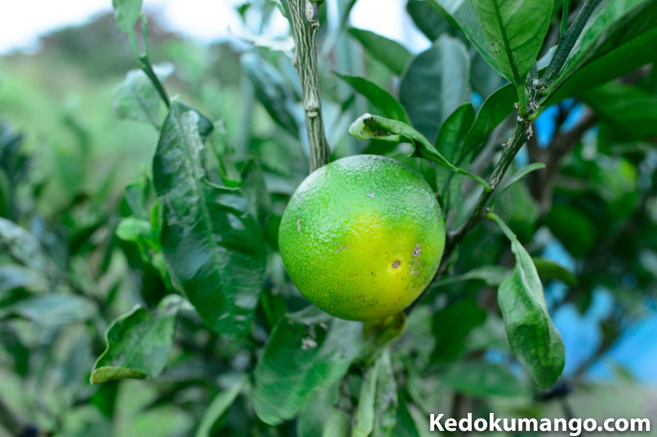 収穫直前の「ゆら早生みかん」の果実