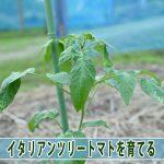【ツリートマト】温暖な徳之島に「イタリアンツリートマト」は合っているようです!