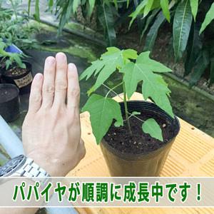 【パパイヤ栽培】パパイヤ酵素で人気の種から植えた「パパイヤ」が元気に成長しています! | 花徳マンゴー