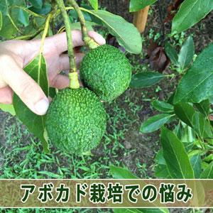 【アボカド栽培】3年間アボカドを育てた私が困っていること! | 花徳マンゴー