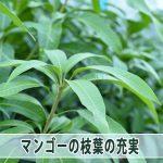 【マンゴー栽培】夏季剪定から伸びる「3節目」への対応について