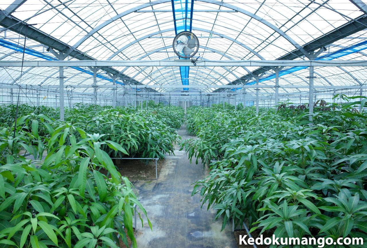 マンゴー栽培を行なうビニールハウスの10月下旬の成長の様子