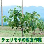 【チェリモヤ・アテモヤ栽培】樹形づくりのために剪定作業をほどこしました!