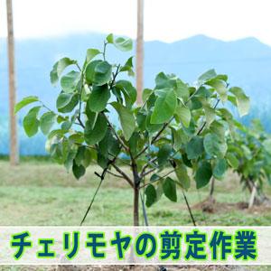 【チェリモヤ・アテモヤ栽培】樹形づくりのために剪定作業をほどこしました! | 花徳マンゴー
