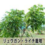 【ライチ栽培】順調に成長する横で育て方の難しさに直面しています!