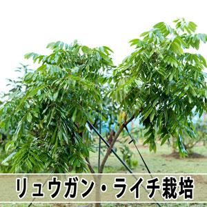 【ライチ栽培】順調に成長する横で育て方の難しさに直面しています! | 花徳マンゴー