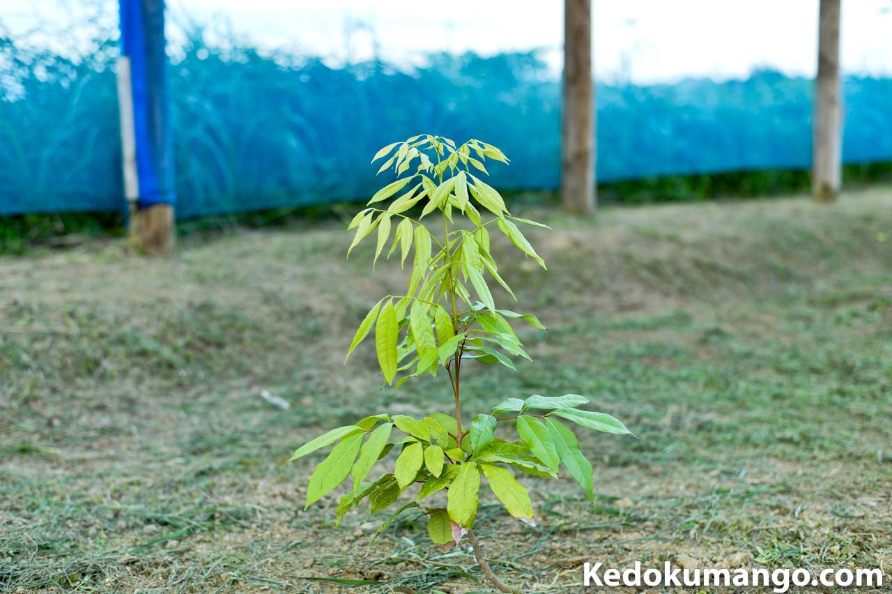 ライチの苗木