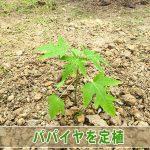 【パパイヤ栽培】種から育てる「パパイヤ」を露地へ定植したよ!