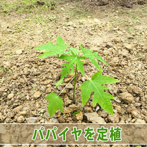 【パパイヤ栽培】種から育てる「パパイヤ」を露地へ定植したよ! | 花徳マンゴー