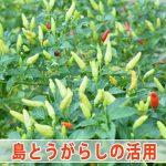 【島とうがらし】家庭菜園でたくさん実った「唐辛子」の活用法を考えてみた!