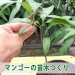 【マンゴー栽培】種から育てる『ピリエマンゴー』に切返し剪定をおこなったよ!