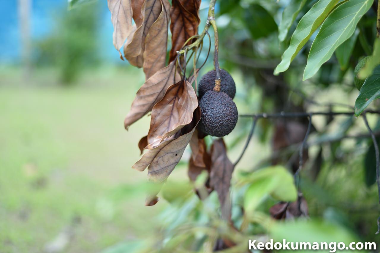 枯れてしまったアボカドの果実