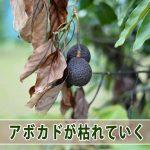 【アボカド栽培】原因不明の立ち枯れが始まってしまいました!