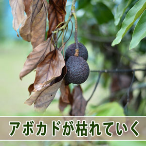 【アボカド栽培】原因不明の立ち枯れが始まってしまいました! | 花徳マンゴー