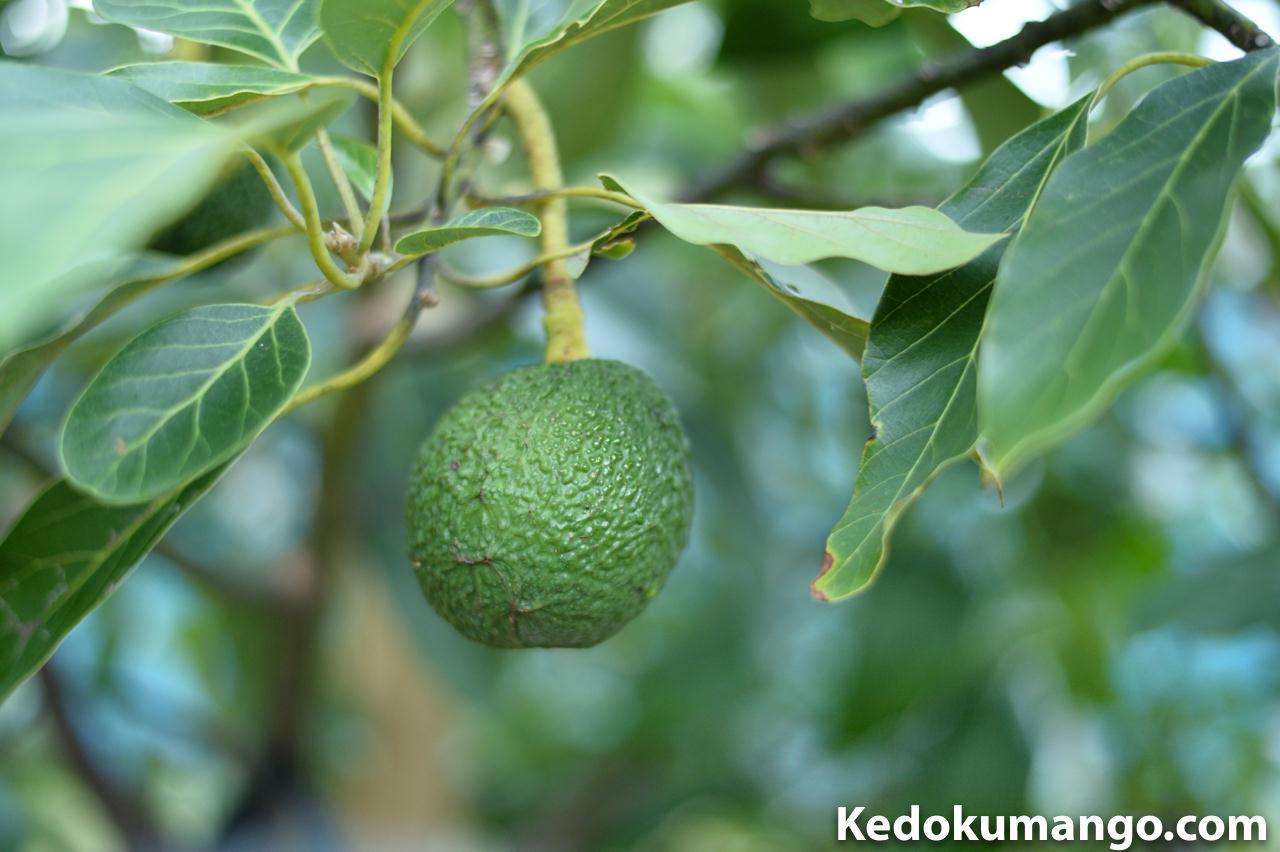 アボカドの果実