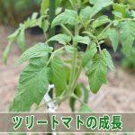 【ツリートマト】初めて育てる植物の観察は楽しいものです!