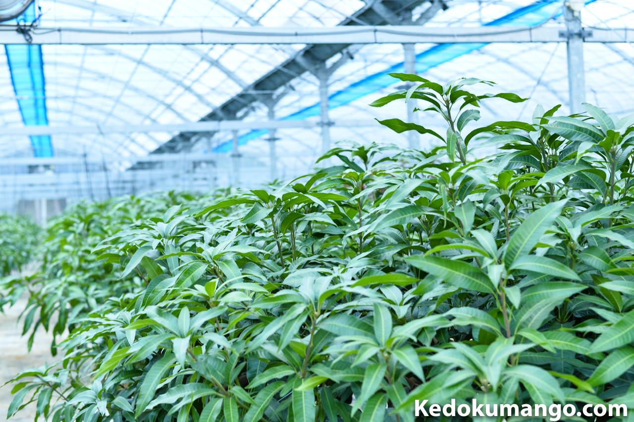 2016年11月上旬の「花徳マンゴー園」の様子
