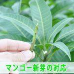 【マンゴー栽培】夏季剪定から伸びる3節目の新芽に対して処理を行いました!