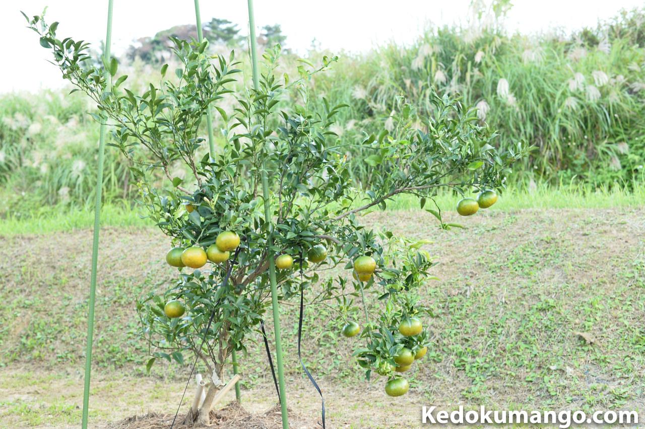 鹿児島木位市で購入したオレンジの樹