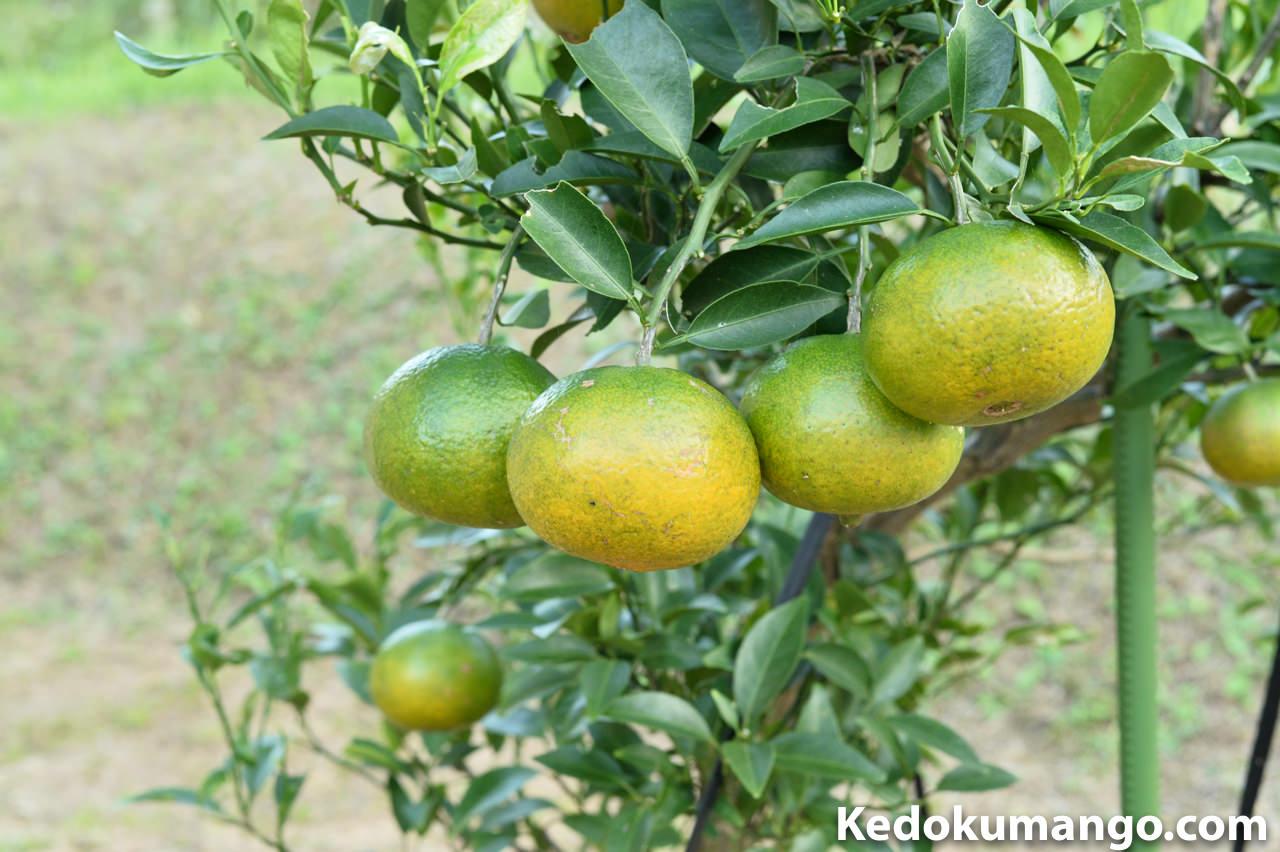 11月上旬のオレンジの果実の様子_1