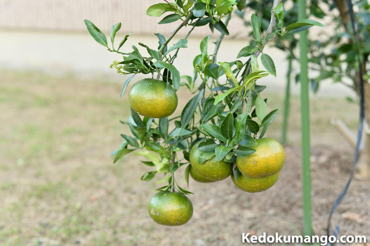 11月上旬のオレンジの果実の様子_2