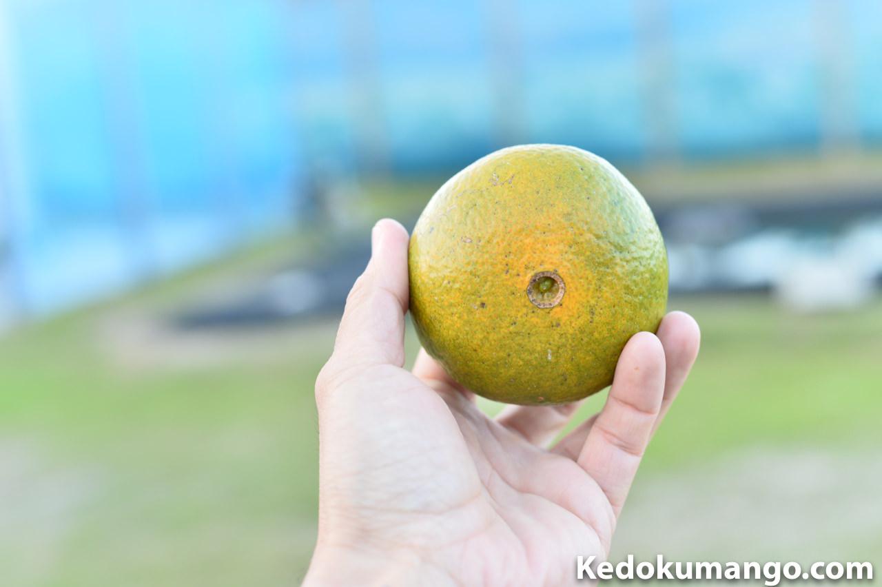 初収穫したオレンジ