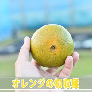 【オレンジ】美味しそうだったので我慢できずに味見してみた! | 花徳マンゴー
