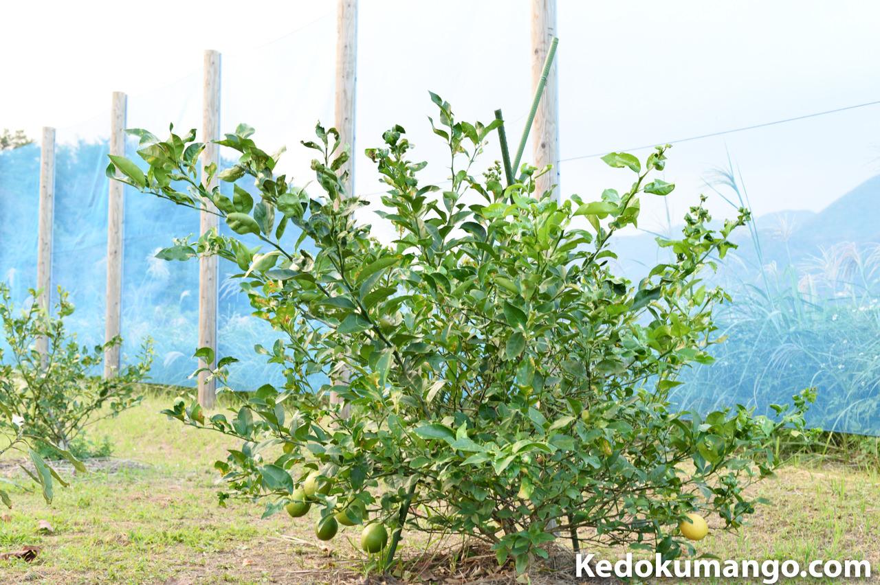 収穫前のレモン