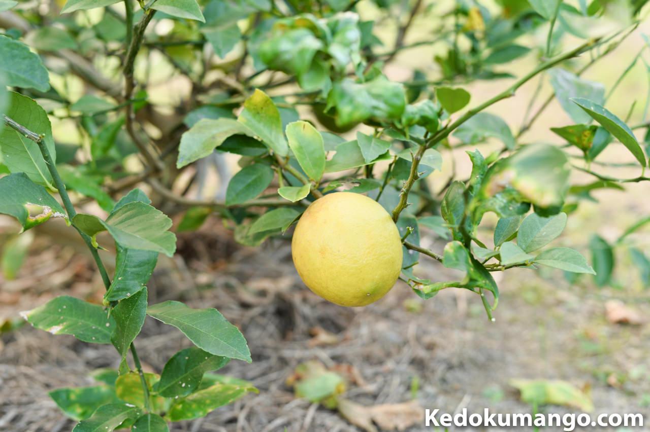 樹にさがるレモン_1