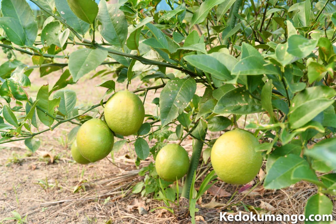 樹にさがるレモン_2