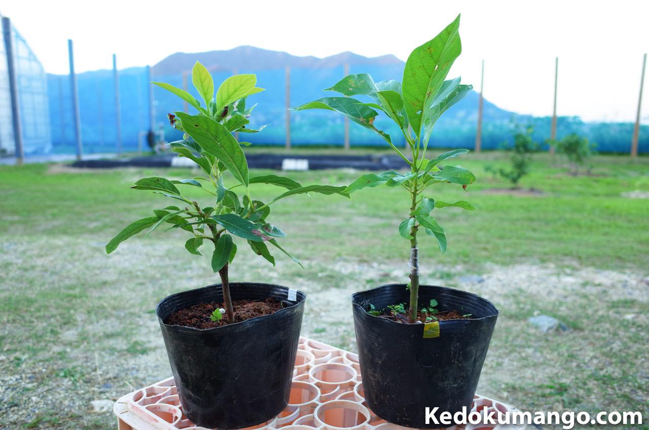 沖縄で開札されたアボカドの苗木