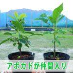 沖縄から新しい【アボカド】の苗木がやってきた!
