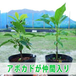 沖縄から新しい【アボカド】の苗木がやってきた! | 花徳マンゴー