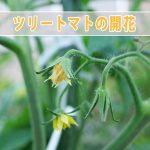 【ツリートマト】イタリアンツリートマトが種まきから80日ほどで開花しました!