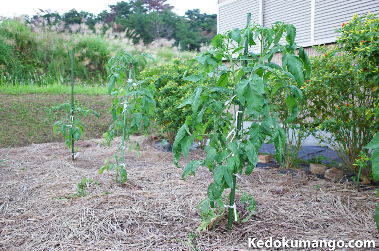 種まきから80日が経過したツリートマト