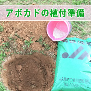 徳之島で【アボカド】の新しい苗を植え付ける栽培準備を始めたよ! | 花徳マンゴー