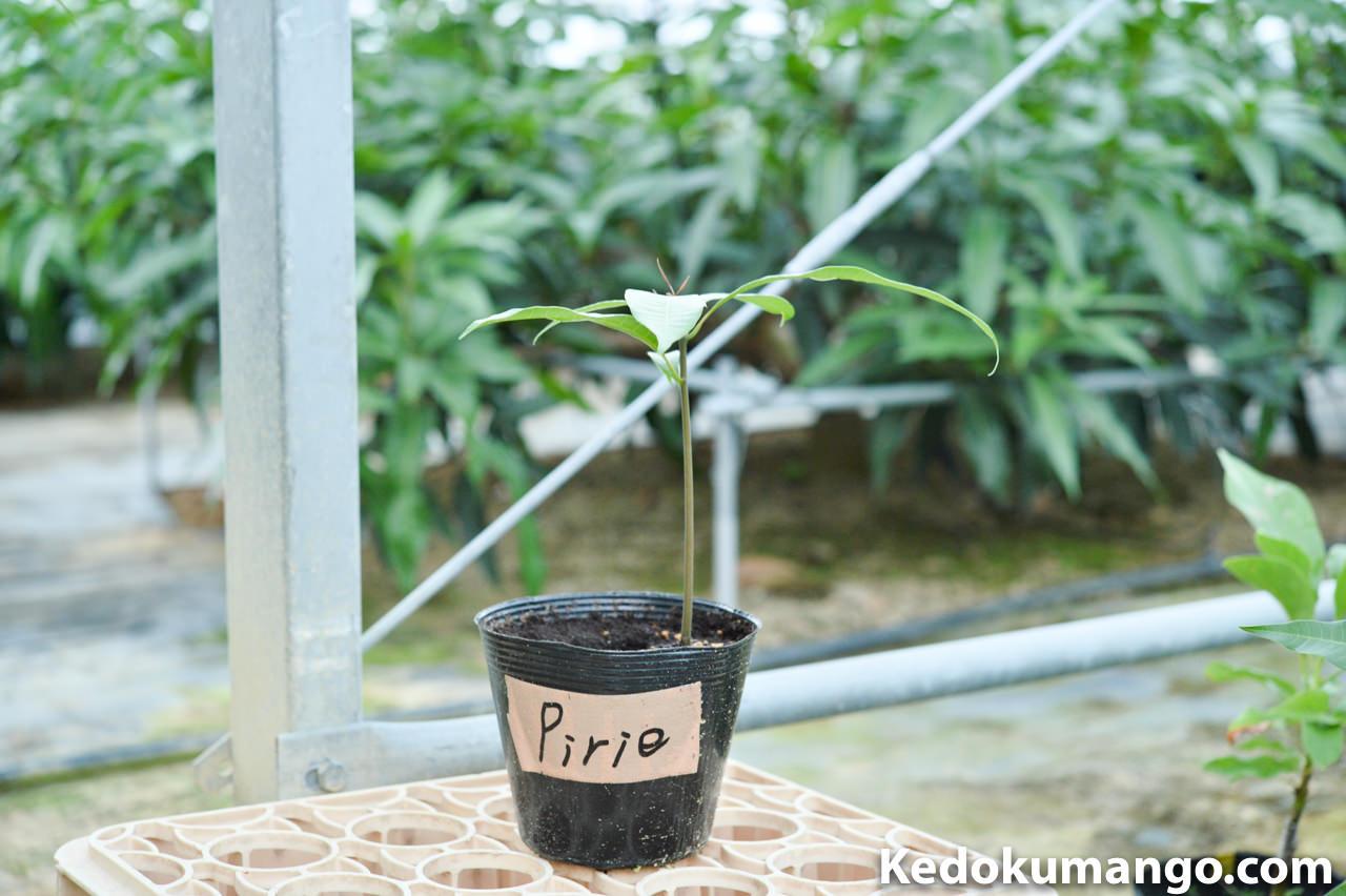 2016年11月の種からら植えたピリエマンゴー