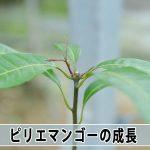 【マンゴー栽培】種から育てる『ピリエマンゴー』の苗が順調に成長しています!
